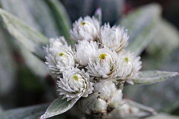 Siberisch edelweiss van Marieke Funke