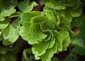 Groen blad met regendruppels van Ina Hölzel