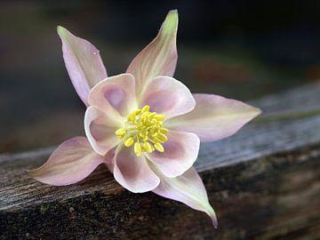 Stillleben von einer Columbine Blume auf unlackierte Holz von Edwin Butter