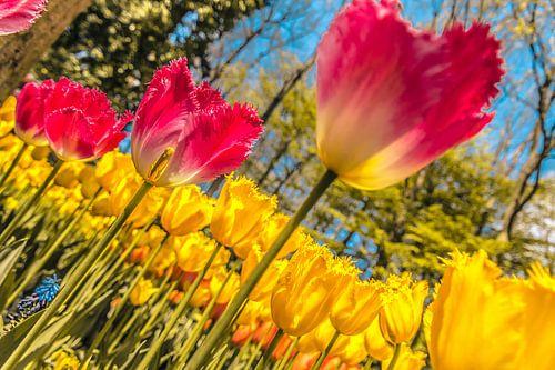 Geweldig veld vol tulpen