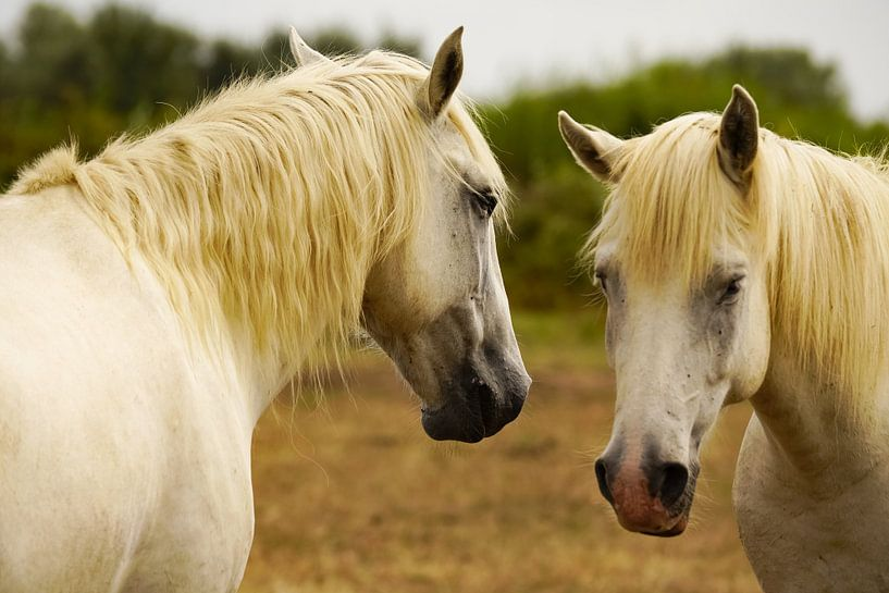 Konikpaarden in de Camarque van Alice Berkien-van Mil