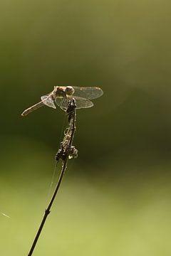 Libelle lachend groen sur Sascha van Dam