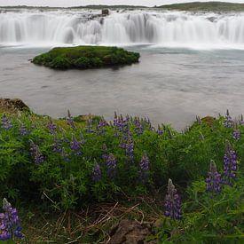 Bloeiende lupines en de Vatnsleysufoss op IJsland van Wilco Berga