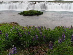 Bloeiende lupines en de Vatnsleysufoss op IJsland
