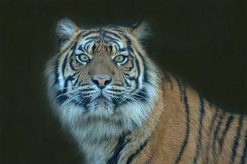 Sibirischer Tiger, Amur Tiger. Ein Porträt von Gert Hilbink