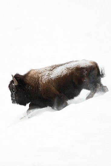 American Bison ( Bison bison ), bull in winter fur, running downhill through deep fluffy snow, power