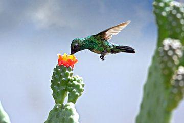Groene kolibrie van