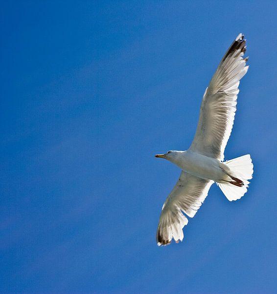 Meeuw op blauwe lucht van Guido Akster