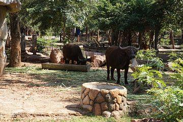 Buffel op het land van