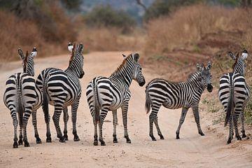Op safari in Afrika: groepje zebra's = vijf streepjesbroeken van Koolspix