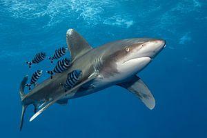 Shark on Speed van