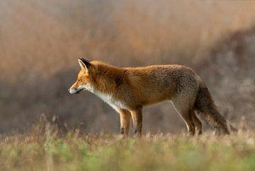 Just a fox van Anna Stelloo