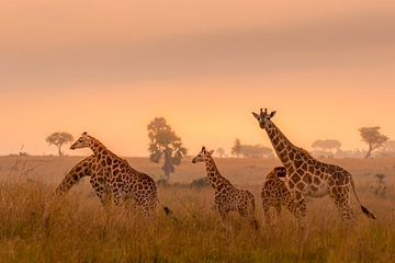 Eine Giraffenfamilie im Morgenlicht. von Gunter Nuyts