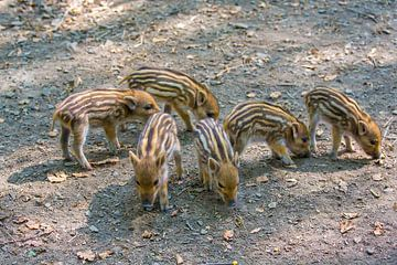 Groep jonge wilde zwijnen zoekt voedsel op grond in bos van
