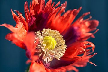 Papaver bloem van Cor de Hamer