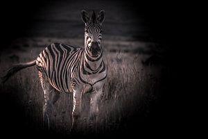 Zebra schaut in die Kamera.