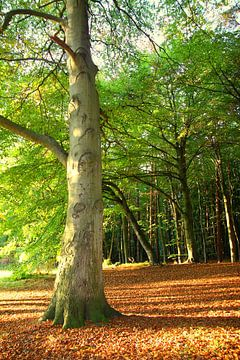 Oktoberbuche von Ostsee Bilder