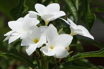 witte oleander bloemen von Frans Versteden
