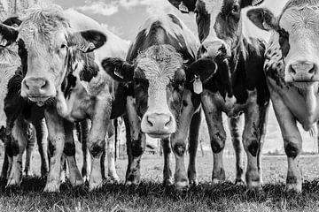 Kühe von jan van de ven
