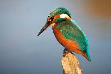 IJsvogel van Bartholda Lucas