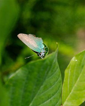 Schmetterling (grün) auf Blatt von Jeroen Brasz