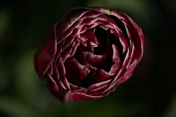 Donkere tulp von Jovas Fotografie