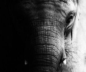 Portret olifant (zwart/wit) van