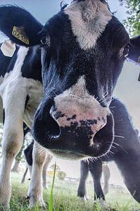 koeien komen gluren