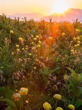 Almweide tijdens zonsondergang sur