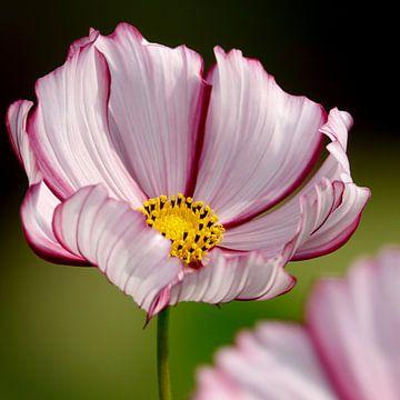 Dramatisch rood met witte bloem van de Cosmos plant van Daan Hartog