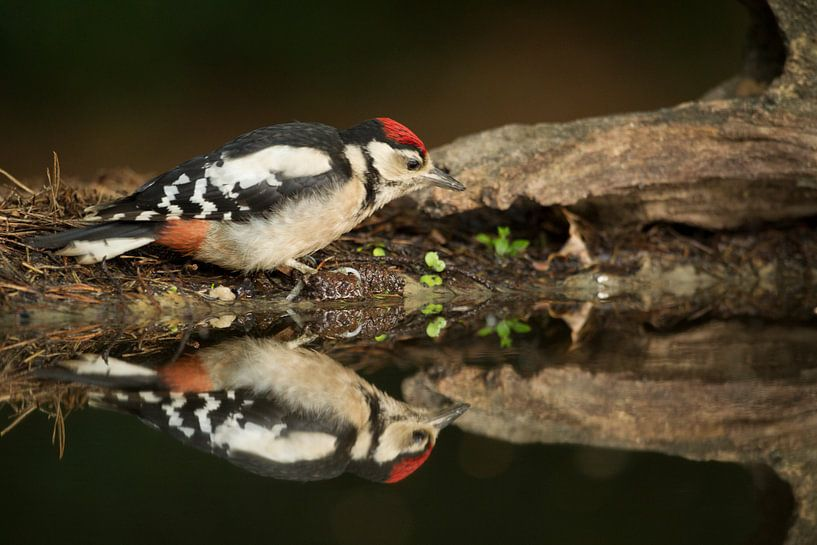 Great Spotted Woodpecker von Tom Smit