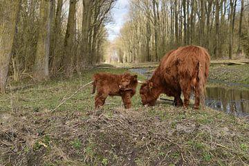 Schotse Hooglander met kalf van Patricia van den Bos
