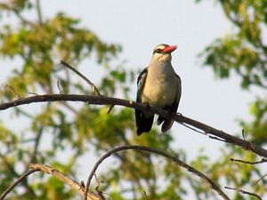 Ijsvogel in de bomen van Afrika