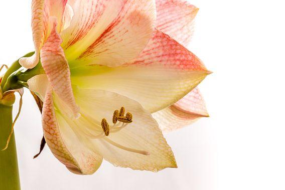 Amaryllis close-up