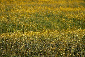 Butterblumen von Dalmuro