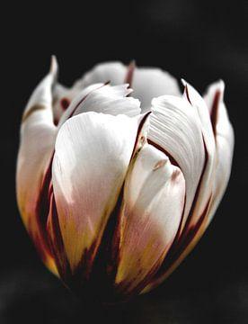 Tulpenblüte von Norbert Sülzner