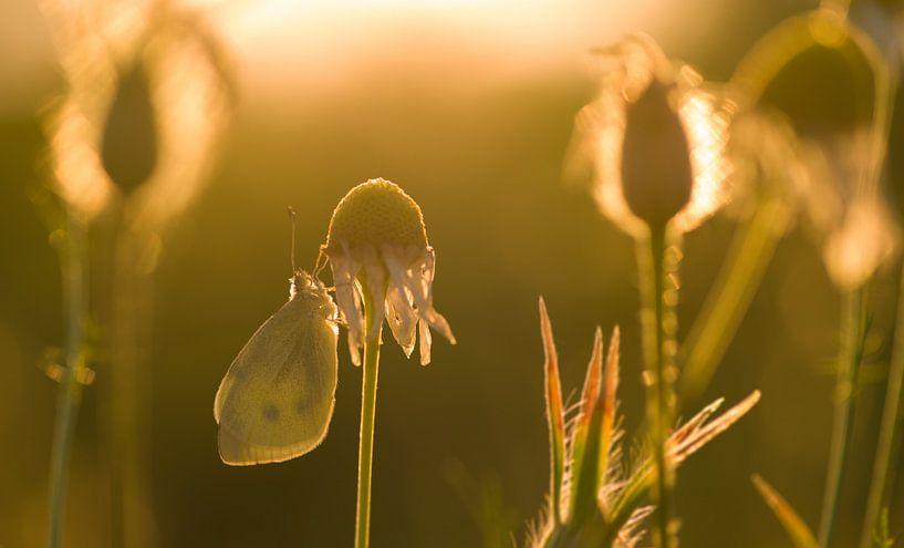 Vlinder in avondlicht van Jan Jongejan