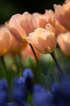 Hollandse Tulp Studie van Istvan Nagy