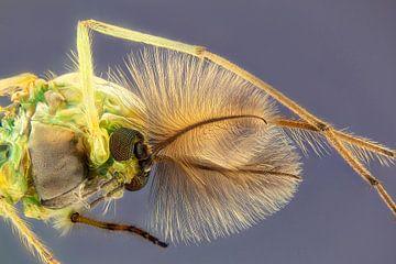 Dansende vedermug - Chironomidae van Rob Smit
