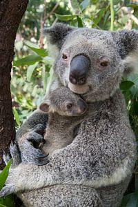 Koala (Phascolarctos cinereus) moeder knuffelt haar zeven maanden oude baby, Australië