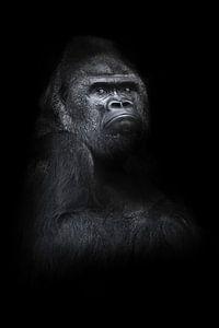 Ein kräftiger, verärgerter männlicher Gorilla sitzt halb umgedreht auf einer mächtigen Schulter und
