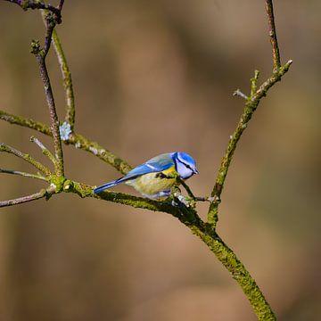 Blaumeise von Els Peelman