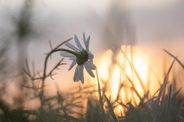 gefrorenes Gänseblümchen am Morgen von Tania Perneel