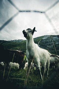 Norwegian goat leader van Jip van Bodegom