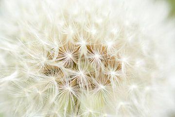 Dandelion von Nanda Bussers