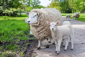 Moeder schaap en lam  staan op weg in natuur van