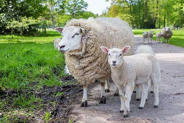 Mutter Schafe und Lamm auf der Straße stehen zusammen in den ländlichen Gebieten von Ben Schonewille