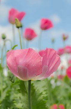 Papaverbloem in roze van
