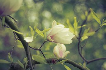 Magnolien von Marianne Twijnstra-Gerrits