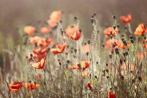 poppies in morninglight